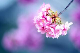 Cherry Blossom - Obrázkek zdarma pro Fullscreen Desktop 1280x1024