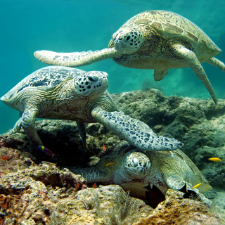 Underwater Sea Turtle HD - Obrázkek zdarma pro 208x208