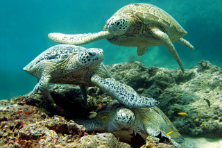 Free Underwater Sea Turtle HD Picture for Android, iPhone and iPad