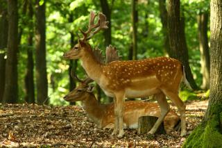 Sika Deer - Obrázkek zdarma pro 800x480