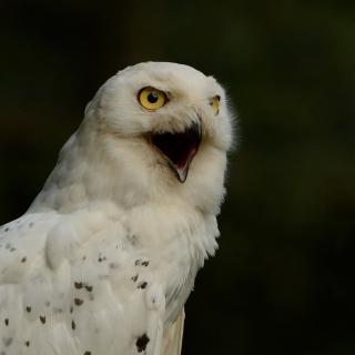 Snowy Owl - Obrázkek zdarma pro 128x128