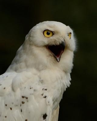 Snowy Owl - Obrázkek zdarma pro Nokia Asha 308