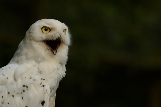 Free Snowy Owl Picture for Android, iPhone and iPad