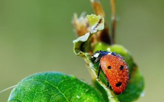Ladybug Covered With Dew Drops - Obrázkek zdarma pro Widescreen Desktop PC 1440x900