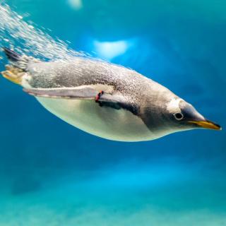Penguin in Underwater - Obrázkek zdarma pro 128x128
