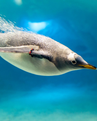 Penguin in Underwater - Obrázkek zdarma pro Nokia C5-06