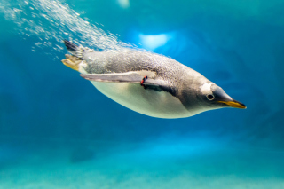 Penguin in Underwater Background for Android, iPhone and iPad