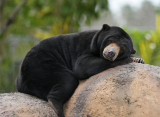 Tired Bear Wallpaper for Android, iPhone and iPad