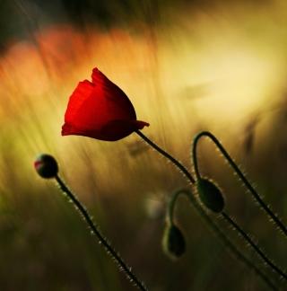 Beautiful Red Poppy - Obrázkek zdarma pro 208x208