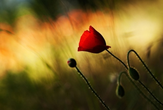 Beautiful Red Poppy - Obrázkek zdarma pro Widescreen Desktop PC 1680x1050