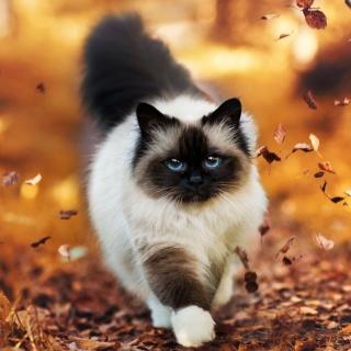 Siamese autumn cat - Obrázkek zdarma pro 208x208