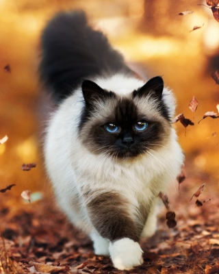 Siamese autumn cat - Obrázkek zdarma pro 352x416