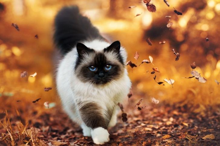 Siamese autumn cat wallpaper