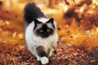 Siamese autumn cat sfondi gratuiti per cellulari Android, iPhone, iPad e desktop