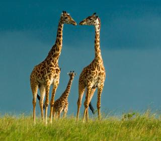 Giraffes Family - Obrázkek zdarma pro 208x208