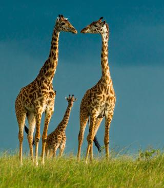 Giraffes Family - Obrázkek zdarma pro Nokia Asha 309
