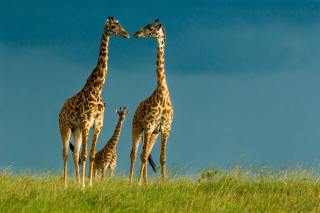 Free Giraffes Family Picture for Android, iPhone and iPad