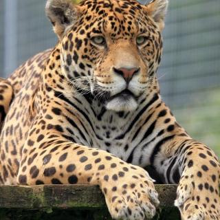 Leopard in Botswana - Obrázkek zdarma pro iPad 3
