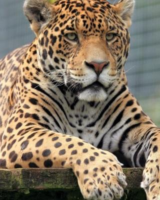 Leopard in Botswana - Obrázkek zdarma pro Nokia Asha 310
