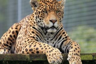 Leopard in Botswana - Obrázkek zdarma pro 1600x900