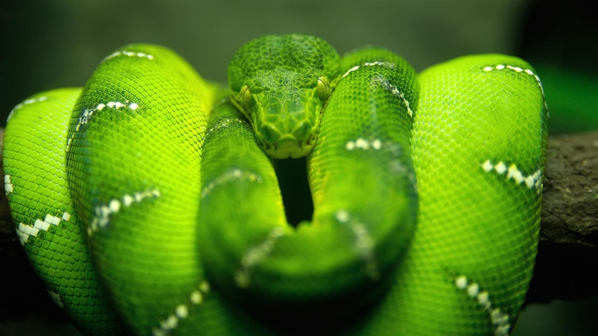 Screenshot №1 pro téma Green Python Snake 1920x1080