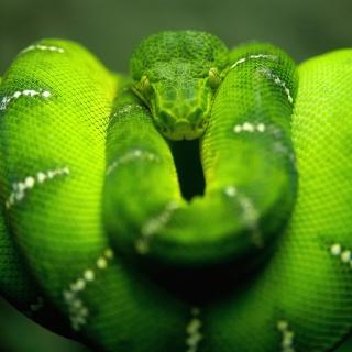 Screenshot №1 pro téma Green Python Snake 320x320