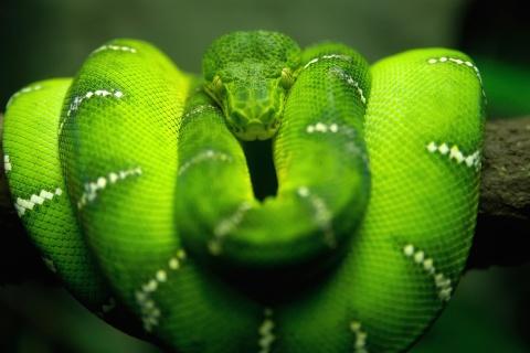 Screenshot №1 pro téma Green Python Snake 480x320