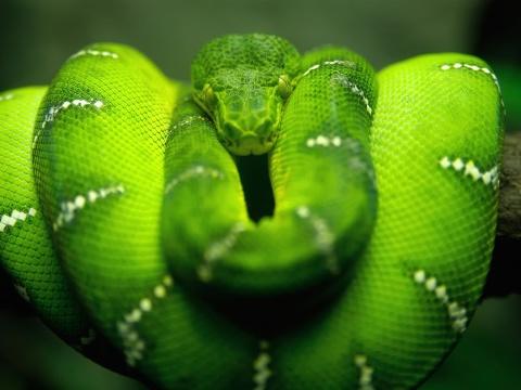 Screenshot №1 pro téma Green Python Snake 480x360