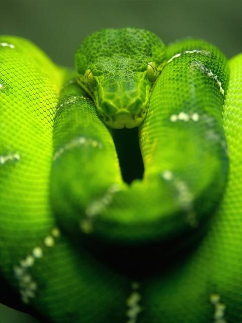 Screenshot №1 pro téma Green Python Snake 480x640