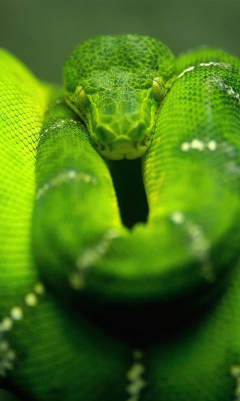 Screenshot №1 pro téma Green Python Snake 480x800