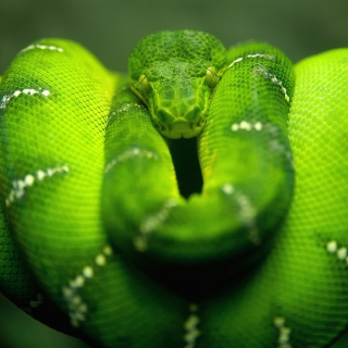 Green Python Snake - Obrázkek zdarma pro iPad