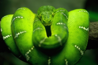 Green Python Snake - Obrázkek zdarma pro Android 540x960