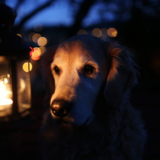 Ginger Dog In Candle Light - Obrázkek zdarma pro iPad Air