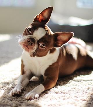 Red Boston Terrier - Obrázkek zdarma pro 360x480