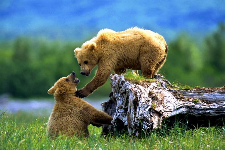 Brown Bears Games wallpaper