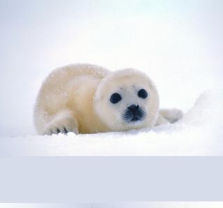 Arctic Seal - Obrázkek zdarma pro 2048x2048