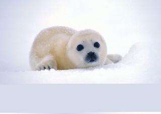 Arctic Seal - Obrázkek zdarma pro Samsung Galaxy Nexus
