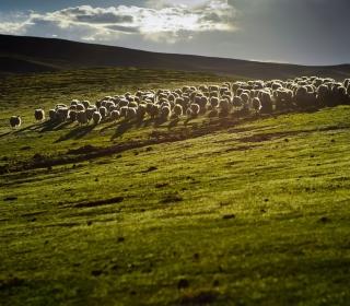 Sheep On Green Hills Of England - Obrázkek zdarma pro 1024x1024