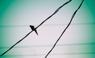 Free Pigeon On Wire Picture for Android, iPhone and iPad