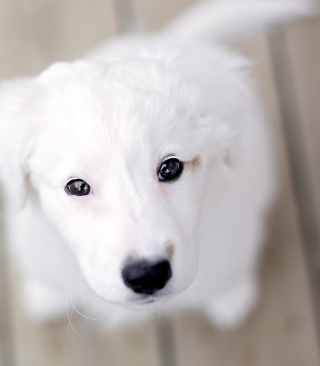 White Puppy With Black Nose - Obrázkek zdarma pro iPhone 6 Plus