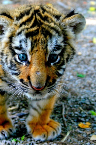 Baby tiger iphone wallpaper - photo#54