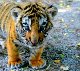 Baby Tiger - Obrázkek zdarma pro 208x208
