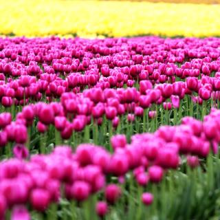 Tonami, Toyama Tulips Garden - Obrázkek zdarma pro iPad mini 2
