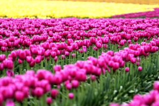 Tonami, Toyama Tulips Garden Wallpaper for Android, iPhone and iPad