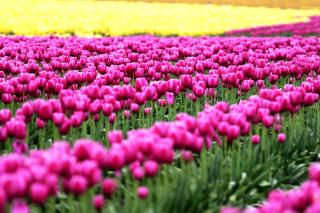 Tonami, Toyama Tulips Garden - Obrázkek zdarma pro Samsung P1000 Galaxy Tab
