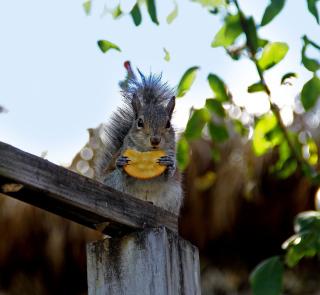 Squirrel Eating Cookie - Obrázkek zdarma pro 128x128