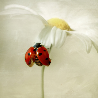Ladybug On Daisy - Obrázkek zdarma pro iPad