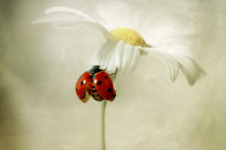 Free Ladybug On Daisy Picture for Android, iPhone and iPad