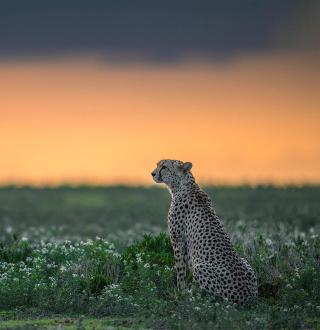 Cheetah - Obrázkek zdarma pro iPad mini