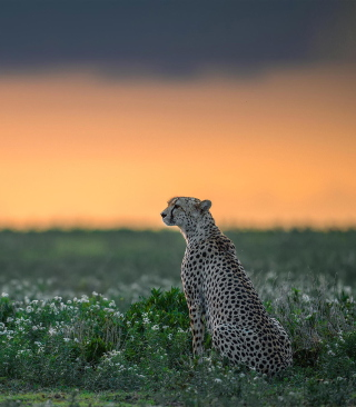 Cheetah - Obrázkek zdarma pro Nokia Lumia 820